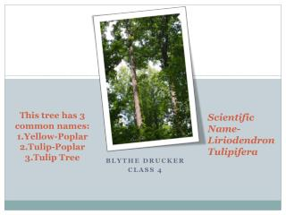 This tree has 3 common names: 1.Yellow-Poplar 2.Tulip-Poplar  3.Tulip Tree