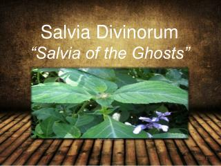Salvia Divinorum �Salvia of the Ghosts�