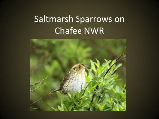 Saltmarsh Sparrows on  Chafee NWR