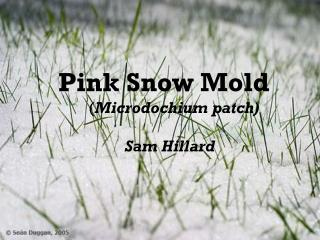 Pink Snow Mold    ( Microdochium patch) 		     Sam Hillard