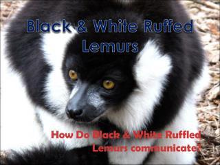 How Do Black & White Ruffled Lemurs communicate?
