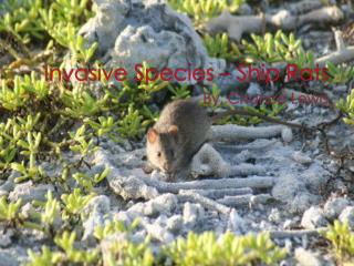 Invasive Species – Ship Rats