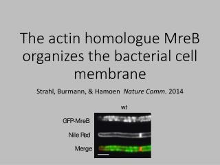 The actin homologue MreB organizes the bacterial cell membrane
