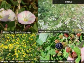 Field Bind Weed ( Convolvulus  sepium )