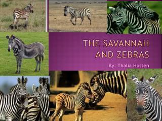 THE SAVANNAH  and Zebras