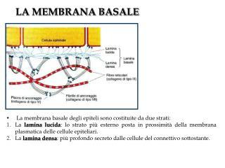 LA MEMBRANA BASALE