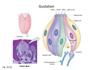 Gustation