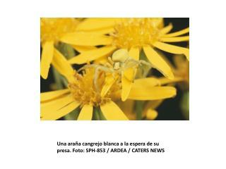 Una araña cangrejo blanca a la espera de su presa. Foto: SPH-853 / ARDEA / CATERS NEWS