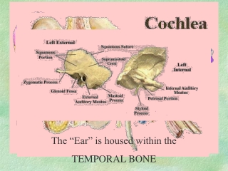 The  Ear  is housed within the  TEMPORAL BONE