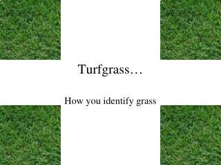 Turfgrass…