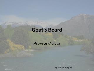 Goat's Beard