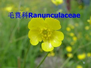 毛茛科 Ranunculaceae