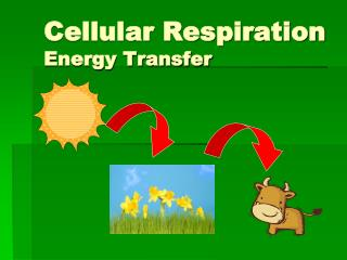 Cellular Respiration Energy Transfer
