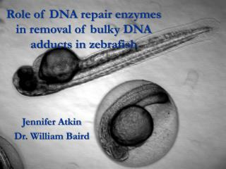 Role of DNA repair enzymes in removal of bulky DNA adducts in zebrafish