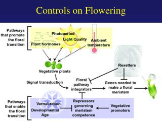 Controls on Flowering