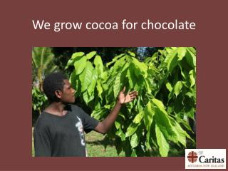 We grow cocoa for chocolate