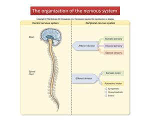 The organization of the nervous system