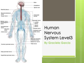 Human Nervous System Level3