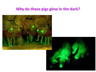 Why do these pigs glow in the dark?