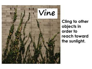 Cling to other objects in order to reach toward the sunlight.