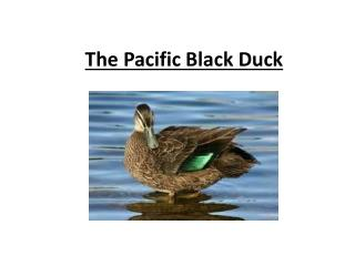 The Pacific Black Duck