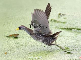 T he Sora