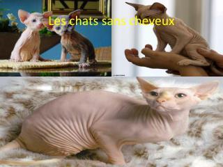 Les chats sans cheveux