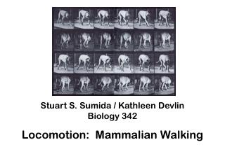 Stuart S.  Sumida / Kathleen Devlin Biology 342 Locomotion:  Mammalian Walking