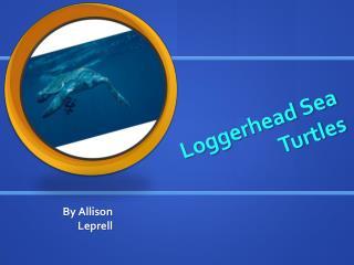 Loggerhead Sea Turtles