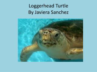 Loggerhead Turtle By  Javiera  Sanchez