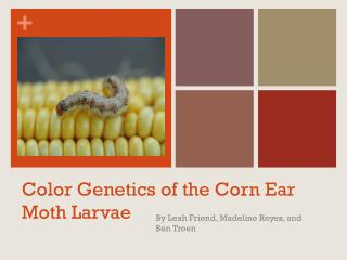 Color Genetics of the Corn Ear Moth Larvae