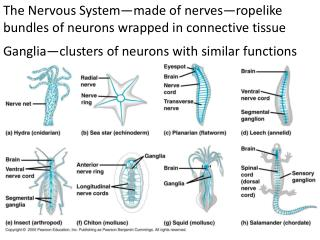 The Nervous System—made of  n erves—ropelike bundles of neurons wrapped in connective tissue