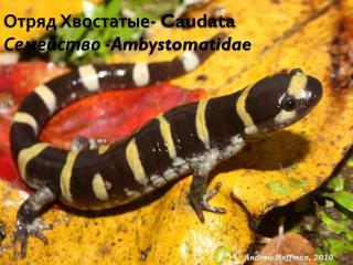 Отряд Хвостатые-  Caudata Семейство - Ambystomatidae