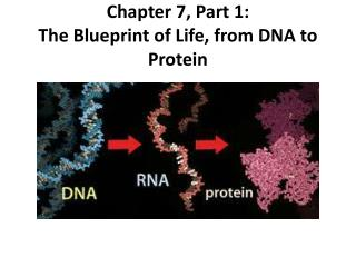 Chapter 7, Part 1: The Blueprint of Life, from DNA to Protein