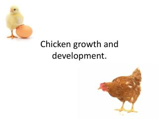 Chicken growth and development.
