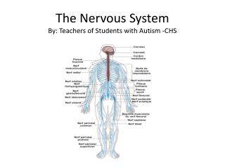 The Nervous  System By: Teachers of Students with Autism -CHS