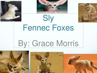 Sly Fennec Foxes