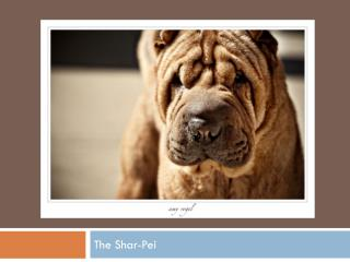 The Shar-Pei