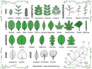 30 Tipologie di foglie fiori frutti semi