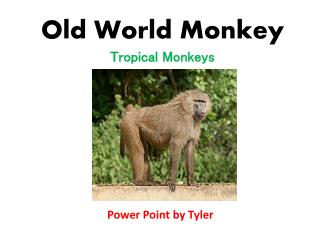 Old World Monkey
