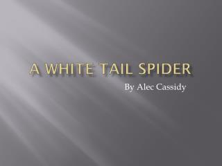 A white tail spider