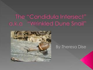 The �Candidula Intersect� a.k.a   �Wrinkled Dune Snail�