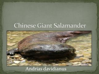 Chinese Giant  S alamander