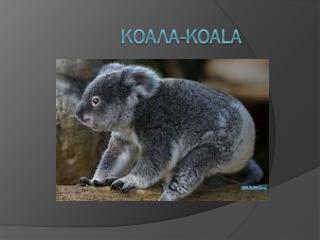 Коала -Koala