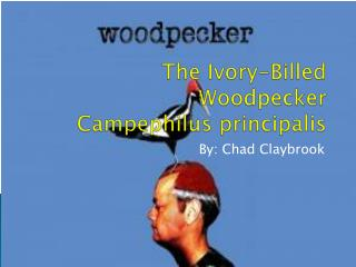 The Ivory-Billed  Woodpecker Campephilus principalis