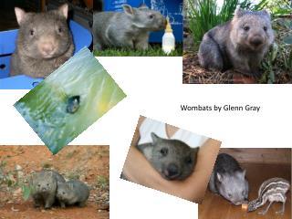 Wombats by Glenn Gray
