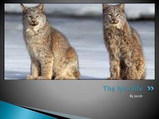 The lynx life