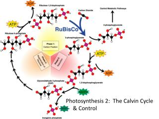 Photosynthesis 2:  The Calvin Cycle     & Control