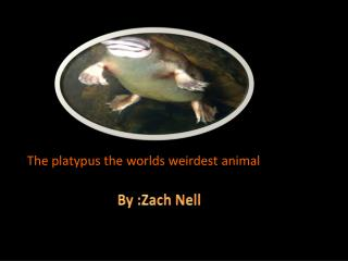 The platypus the worlds weirdest animal