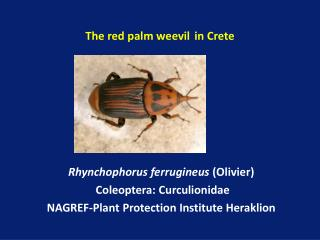 The red palm weevil in Crete